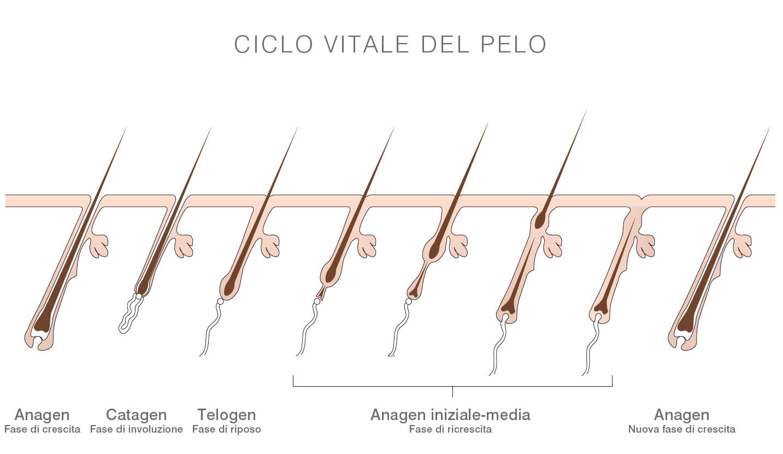 Анатомия волоса фазы роста волос